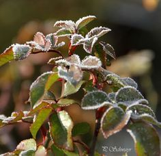 Blätter mit Eisrand 🌿🍃🌿 kreativesbypetra Petra, Plants, Photos, Ice, Pictures, Plant, Planets