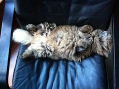 Comfy? ~ Mystic Melody Siberian Cats