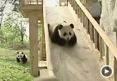 Image: Video still of pandas playing on slide (Courtesy of StupidVideos)