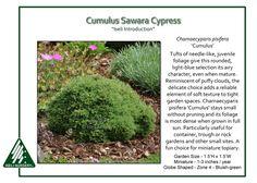 Chamaecyparis pisifera 'Cumulus'
