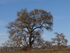 This particular species of Oak tree, common throughout most of Coastal California, was outrageously photogenic ! :)
