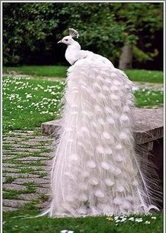 ((White Royal Peacock)) Almighty God created the creatures very carefully to see the wonderful creation Barina has he created in the ground and create the kinds of Alehiwanatlentaraf Royal Peacock Peacock Jamilokanh he wearing a dress and wrap Please do not miss my expensive installation management