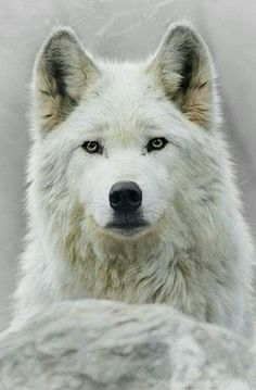 One of the most beautiful animals on earth, and one of the most misunderstood! Protect our wildlife!!
