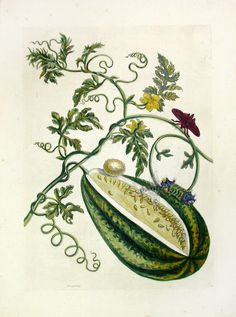 Water Melon ME15 $2250 Each print measures approximately 14 inches by 20 inches.  We are pleased to offer a selection of Maria Sibylla Merian prints from Metamorphosis Insectorum Surinamensium, published in 1705. The finely detailed & richly hand colored copper engravings portray butterflies & insects along with the fruits and flowers on which they lived.