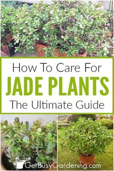 Jade plants make great, low maintenance houseplants. Find out about all the varieties of these beautiful succulents, and how easy it is to care for them. Learn about the key things it takes (soil, water, etc) to have a happy, healthy jade plant that grows big and bushy (and flowers!) indoors or outside. Find out how to solve pest and sunburn issues, and exactly what type of soil is best for thriving potted jades. You can easily keep your jade plant problem-free naturally with these care…