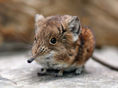 Oddly, Africa's wee Elephant Shrews (family Macroscelididae) are closely related to elephants.