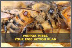 managing varroa mites