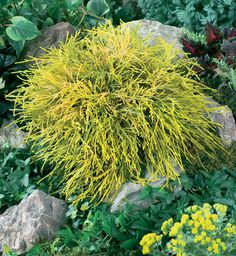 Gold Mop Cypress. Zones 4-8. A ground hugging mound that is truly mop-like, with stringy leaves that color best in full sun. Superior accent plant among other dwarf green conifers. Tailored to rock gardens and slope plantings as well as Asian garden schemes. Evergreen.