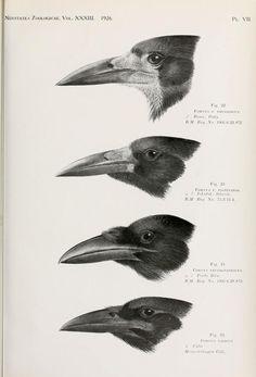 v. 33 (1926) - Novitates Zoologicae. - Biodiversity Heritage Library