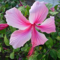 Hibiscus Albo Lacinatus Bush, grows up to 20 feet tall in about 5 years