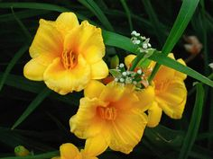 Day lilies in the garden