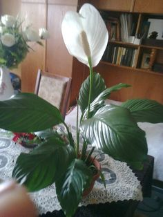 Indoor Plants, Plant Leaves, Dahlias, Gardening, Lifestyle, Chrysanthemums, Flowers, Inside Plants, Lawn And Garden