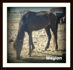 Waylon is a 11/2 year old mini one of 4 available for adoption here at Rocky Acres www. rockyacreshorserescue .org