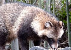 Japanese Raccoon Dog - Bing images