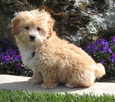 Lhasapoo: mixed Lhasa Apso and a Poodle (both hypoallergenic)