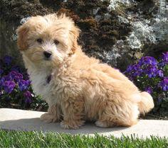 lhasa poo puppy...sooooo cute :)