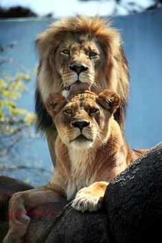 Forever love, lions