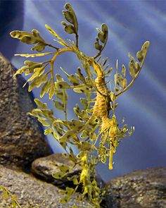 Natures Best Camouflage-Sea Dragon