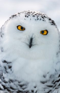 "Beautiful snowy owl, but to me she has this look on her face that says ""Are you stupid?"""
