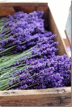 Een tuin zonder lavendel is geen tuin.