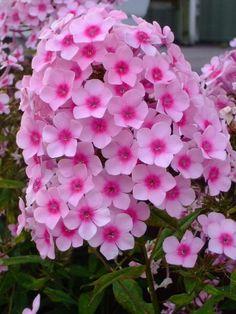 "PHLOX - Perennial.  Zone 3-9.  Height: 18""  Width:  12"".  Full sun.  Keep moist.  Bloom all summer.  Deadhead.  Divide in fall."