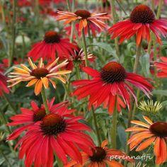 "Isot perennat Punahattu ECHINACEA purpurea ""Summer Coctail"" ryhmäperennat Summer Cocktails, Tulips, Plants, Tulip, Planters, Plant, Planting"