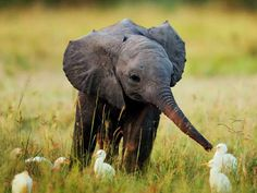 A baby elephant feeding egrets.