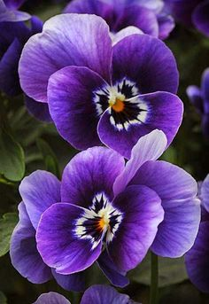 Purple Pansies | Outdoor Areas