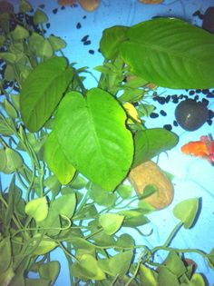 Here we can see my anubia plant (the one with big leaves), which is a really tough plant that we can add to a goldfish aquarium. It doesnt need much light and has a slow growth rate. Goldfishes may neeble on it, but its one of the rare plants that doesnt end up eaten or destroyed in few time.