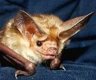 Batworld.org's Orkin--tiny bat with ear injury.
