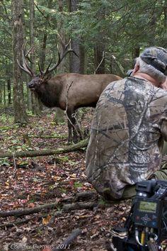 Country Captures: Pennsylvania Elk Harvest Begins.  You don`t get a better shot.