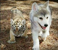 Cute Siberian husky and tiger cub... my 2 favorite animals!