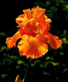 Bearded Iris 'Glazed Orange'