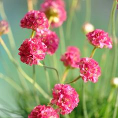 Армерия: популярные виды и сорта, посадка и уход, выращивание из семян, применение в ландшафтном дизайне, советы по уходу, фото