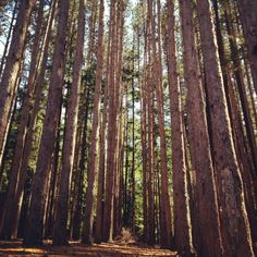 Pine forest- Granby, CT