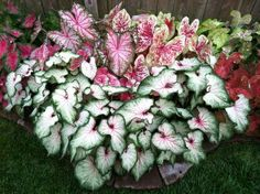 Since the rush to plant caladium tubers is over for landscapers, home gardeners can buy still-healthy bulbs at several Dallas-area retail nurseries. Description from dallasnews.com. I searched for this on bing.com/images