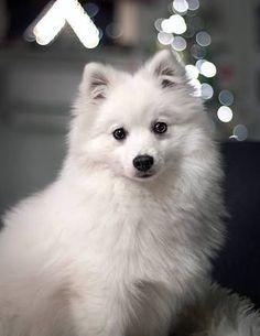 Japanese spitz daisy via Samoyed Dogs, Purebred Dogs, Pet Dogs, Doggies, Miniature American Eskimo, American Eskimo Puppy, Beautiful Dog Breeds, Beautiful Dogs, Japanese Spitz Puppy