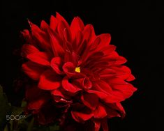 Red Garden Dahlia 0903 by Thomas Jerger on 500px