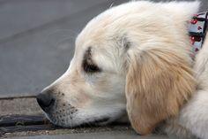Golden Retriever, Gouden, Retriever, Puppy, Pup, Hond