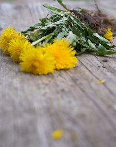 Mniszek lekarski - król na trawniku! Zastosowanie zdrowotne. Plants, Plant, Planets