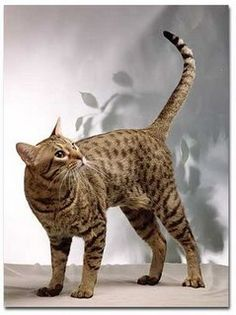 The Ocicat Cat is an all-domestic breed of cat which resembles a wild cat but has no wild DNA in its gene pool. The breed is unusual in that it is spotted like a wild cat but has the temperament of a domestic animal. Exotic Cat Breeds, Exotic Cats, Siamese Cats, Cats And Kittens, Kitty Cats, Domestic Cat Breeds, Purebred Cats, Ocicat, Sand Cat