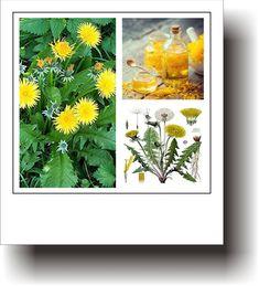 Plante medicinale – PĂPĂDIA
