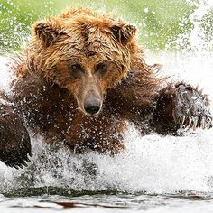 . Photography by © ( Tin Man ). Coastal Brown Bear charging for salmon. I ke this one as I can see the palm of his claw, which looks quite scary. Both eyes were visible too. #brownbear #Bear