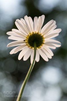 daisy looking up by TomReese1. @go4fotos