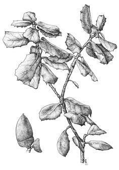 Quercus ilex
