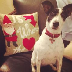 Smooth haired fox terrier dog with Pottery Barn Christmas pillow. Gnome is where the heart is.