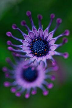 ~~Blast   African Daisy, Osteospermum   by 4buttercup~~