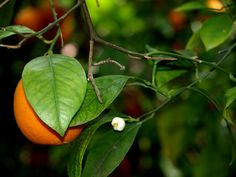 Sicily   The Orange Grove!! I miss the smell of the orange blossoms!