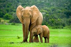 Elephant Facts For Kids