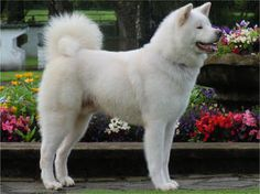 These dogs can grow to be very big and strong, so think carefully about whether you can really look after one properly before you decide on one. #noahsdogs